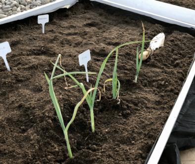 domowy ogród z resztek warzyw